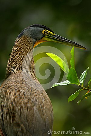Free Detail Portrait Of Beautiful Heron. Bare-throated Tiger-Heron, Tigrisoma Mexicanum, In Nature Green Vegetation. Action Wildlife Sc Royalty Free Stock Images - 102079519