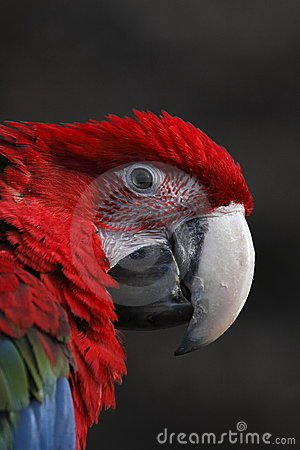Detail of red cuban macaw