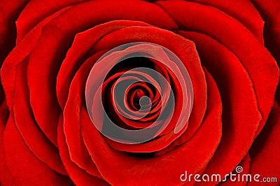 Detail of red rose