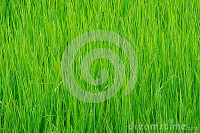 Detail of rice field in Thailand.