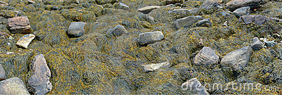 Detail, Seaweed and kelp on beach rocks