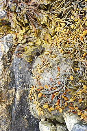 Detail, Seaweed and kelp on beach rocks