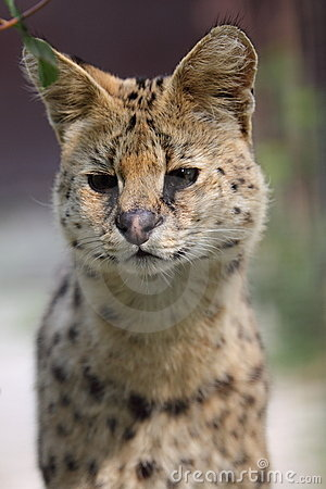 Detail of serval
