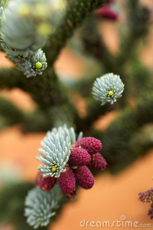 Detail of silver spruce
