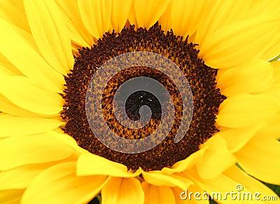Detail of sunflower