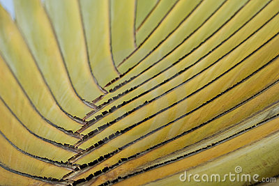 Detail of Traveller s Palm