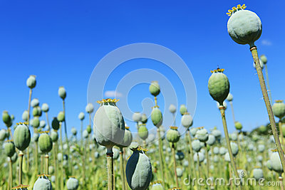 Detail of unripe white Poppyheads