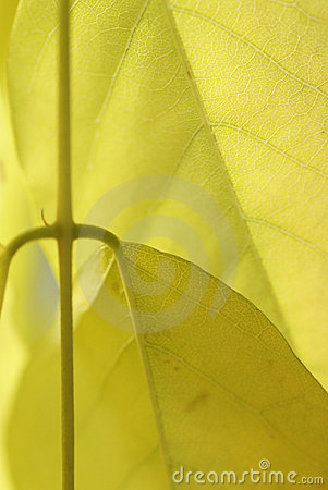 Detail, vein pattern in yellow wisteria