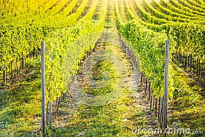 Detail of vineyard in Palava, Czech