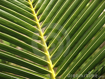 Detailed green palm Leaf