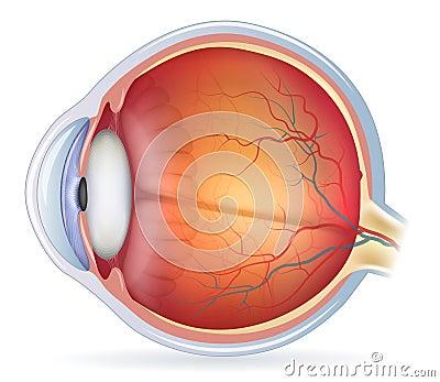 detailed human eye anatomical illustration royalty free