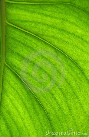 Detailed leaf in back-light
