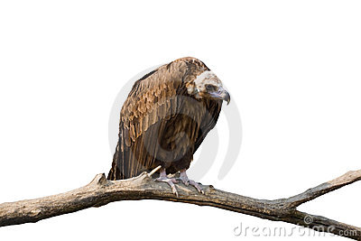 Detailed photo of vulture sitting on a