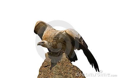 Detailed photo of vulture sitting on a rock