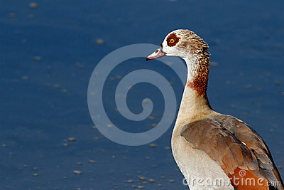 Detailed portrait of the egyptian goose
