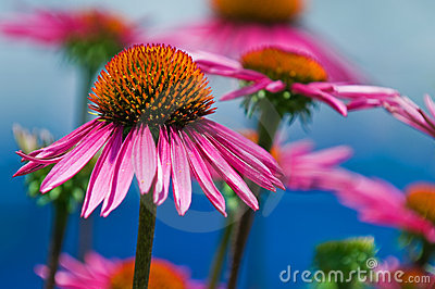 Details of  Coneflower