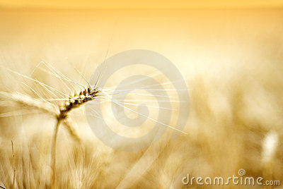 Details of ear of wheat