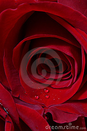 Details of red rose blossom