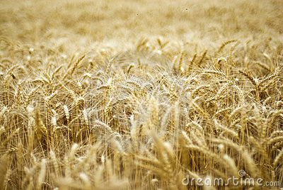 Details of wheat field
