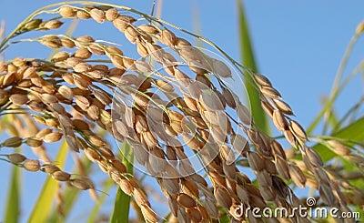 Detalhe do campo do arroz