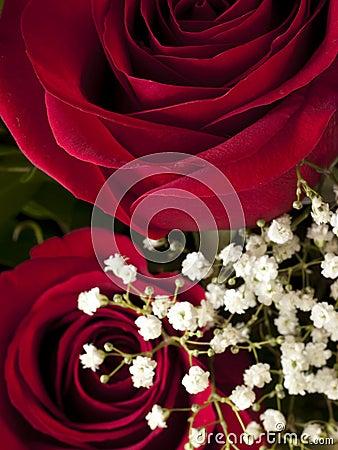 Detalle de la floración de Rose