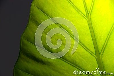 Detalle verde de la hoja