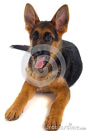 Deutscher shepard Hund