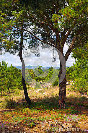 Deux arbres de pin