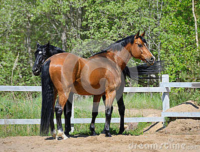Deux chevaux de race
