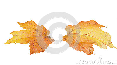 Deux feuilles d automne d isolement