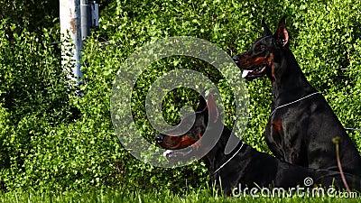 Deux grands chiens noirs dehors banque de vidéos