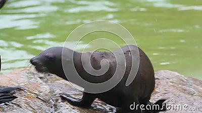 Deux petits phoques en fourrure sont joués avec une baguette posée sur une pierre banque de vidéos