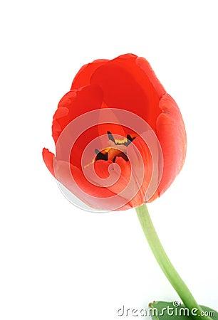 Developed tulip on white #2