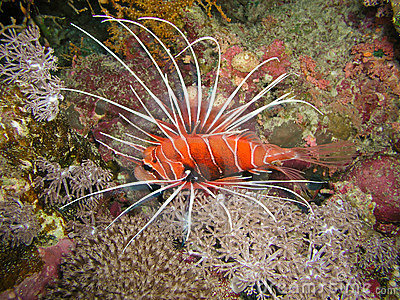 Devil Lion Fish