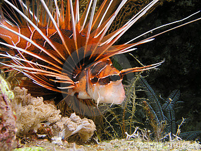 Devil Lion Fish during  night dive