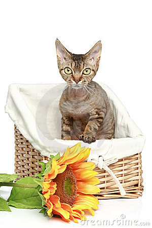Devon Rex cat in basket