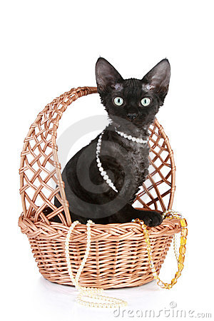 Devon-rex cat portrait in basket with beads
