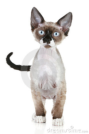 Devon rex cat on a white background