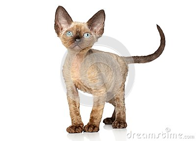 Devon Rex kitten (one month)
