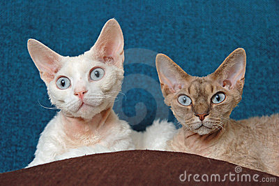 Devon rex - siblings