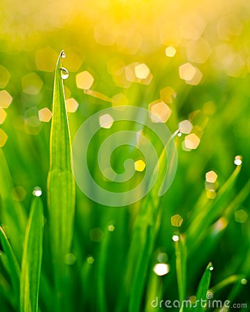 Dew on blades of grass