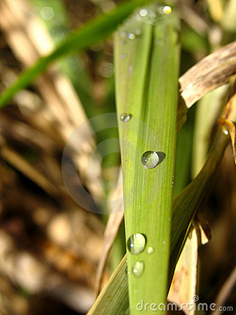 Dew Dropped Blade of Grass