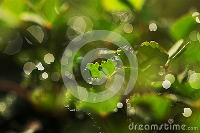 Dew drops on clover leaves