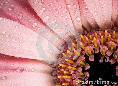 Dew drops on gerbera daisy