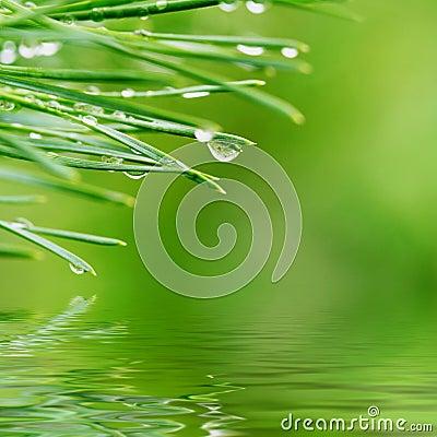 Free Dew Drops On Pine Needles Stock Photo - 4171920