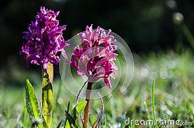 Dew drops on purple beauties