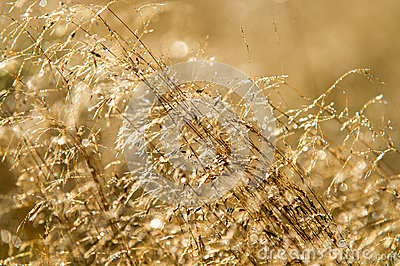 Dew on Golden Grass