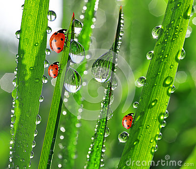 dew and ladybirds