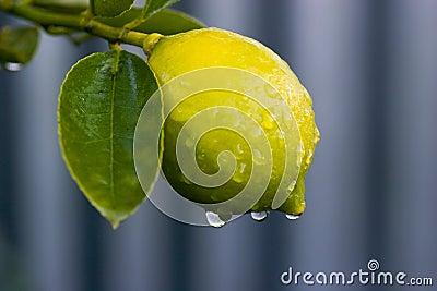 Dew on lemon 02