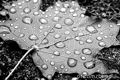 Dew on maple leaf